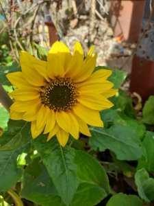 WhatsApp Image 2020-08-02 Richards sunflower